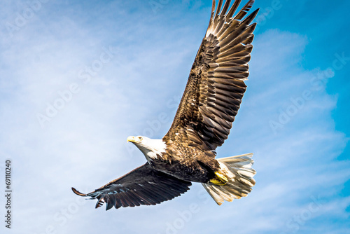 North American bald eagle mid flight