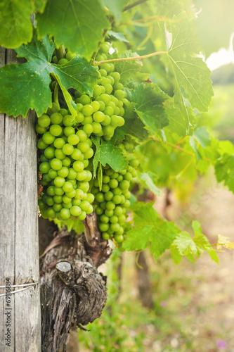 Foto  Beautiful vineyards in Chianti, Italy