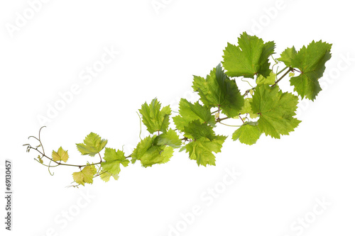 Fotografia  Vine leaves isolated on white