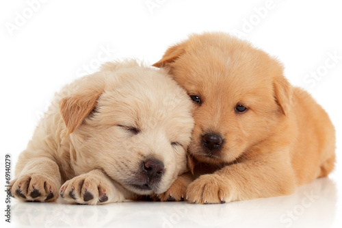 Photo  Two cute Chow-chow puppies,  isolated over white background