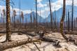 Burned forest at the Jasper national park