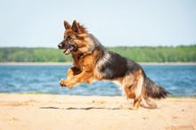 German Shepherd Dog Running On...