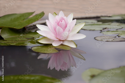 Foto op Canvas Lotusbloem Pink lotus flot on the river gardent