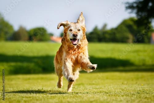 Naklejki psy  golden-retriever-dog