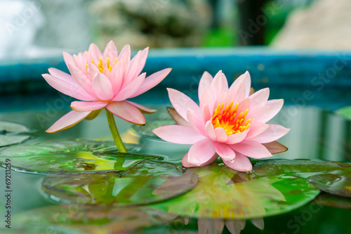 Wall Murals Water lilies A beautiful pink waterlily or lotus flower in pond