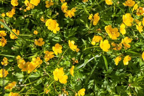 Ranunculus acris (Meadow buttercup, Tall buttercup) yellow flowe Canvas Print