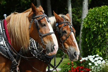 Team Of Two Draft Horses On Ma...