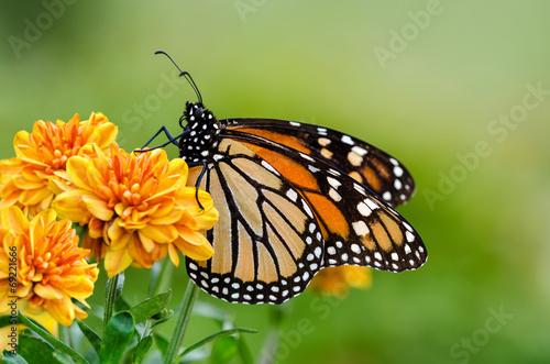 Monarch butterfly (Danaus plexippus) during autumn migration