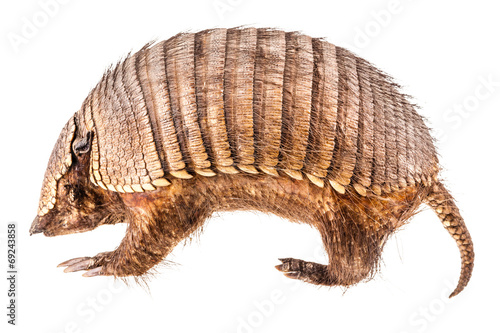 Stuffed Armadillo Canvas Print