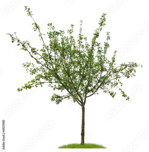 Junger Apfelbaum mit reifen Äpfeln als Freisteller