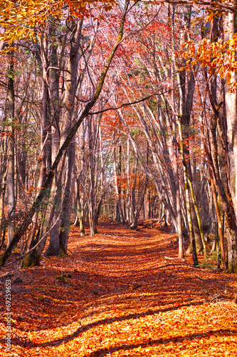 Tuinposter Weg in bos 落ち葉の敷き詰められた森の小道