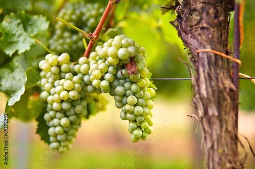 Fotografia, Obraz  Branch of white wine grapes