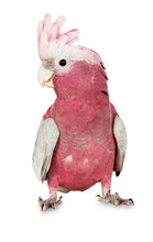 Major Mitchell Cockatoo On The White Background
