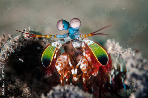 Fotografie, Obraz  Peacock mantis shrimp in Gorontalo, Indonesia underwater photo.