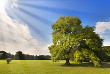 Big Oak Tree On A Green Meadow