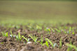 Close up of corn seedlings in field