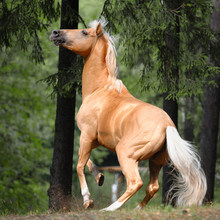 Palomino Horse Is Rearing Up I...