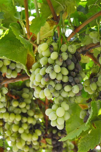 Fotografie, Obraz  Bunch rot grapes infection.
