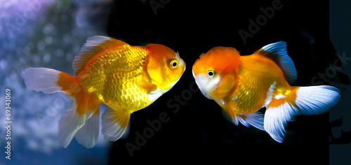 Goldfish in Aquarium.Fish and water are saturate colour with dis