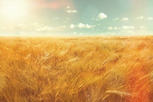 Barley Field And Sunlight