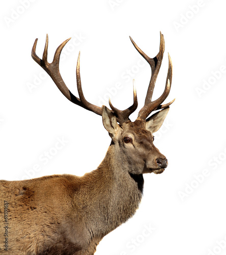 Fotobehang Hert Deer isolated on white