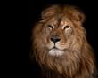 lion on a black background.