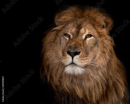 Staande foto Leeuw lion on a black background.