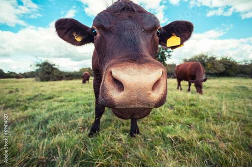 Ingelijste posters Koe Close up of a cow standing in a field