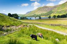 Herdwick Sheep Buttermere Lake District Cumbria England Uk