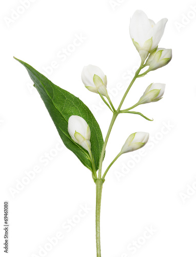 Poster Muguet de mai isolated jasmine branch with buds