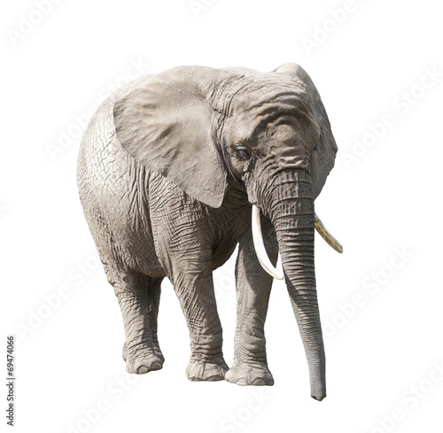 Foto op Aluminium Olifant African elephant isolated on white with clipping path