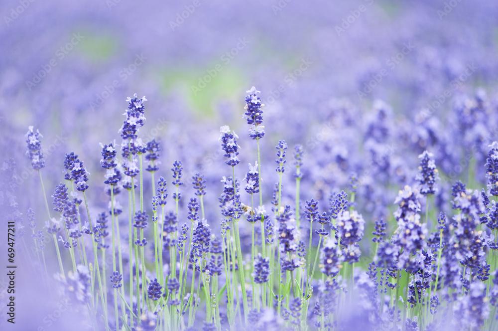 Fototapety, obrazy: Lawendowe pole Furano