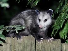 Virginia Opossum At Night