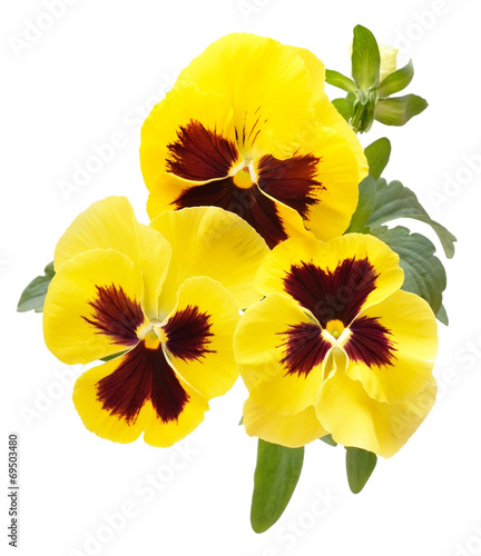 Papiers peints Pansies Viola flowers isolated on white background