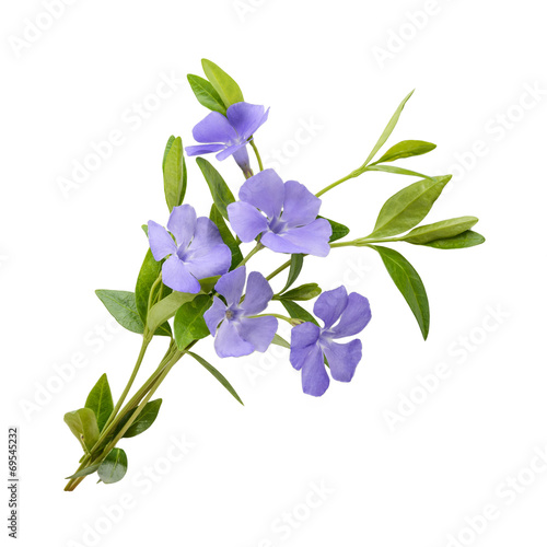 Periwinkle, Vinca minor isolated on white background Wallpaper Mural