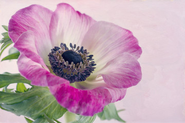 Closeup of anemone flower1