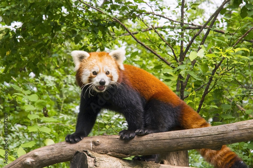 Red panda (Ailurus fulgens) Fototapet