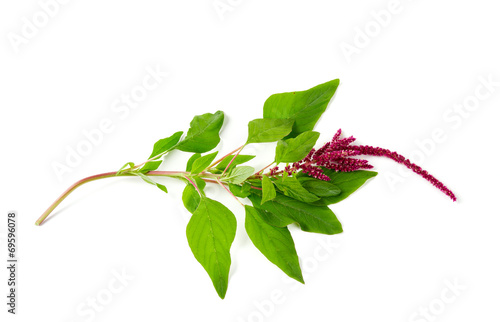 amaranth flower isolated on white Canvas Print