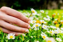 Female Hand Picking Flowers.