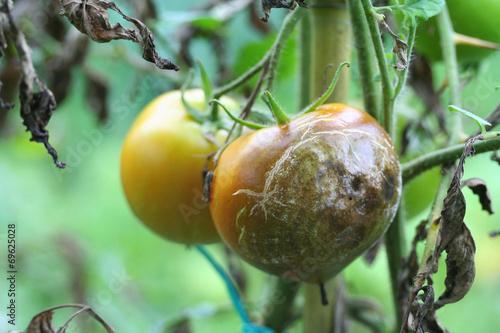 Fotografia  peronospora del pomodoro_ malattia della pianta
