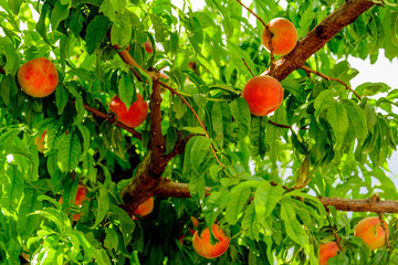 Fototapetafresh peaches ripening on the orchard tree
