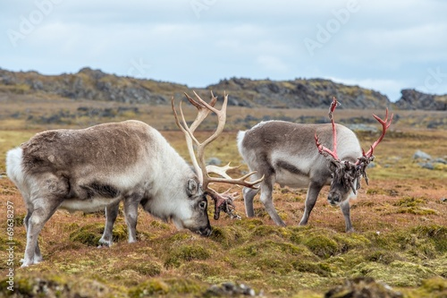 Papiers peints Arctique Wild Arctic reindeers prepared to shed their antlers.