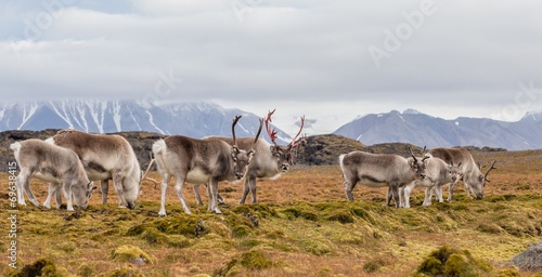 Photo Stands Arctic Herd of wild reindeers