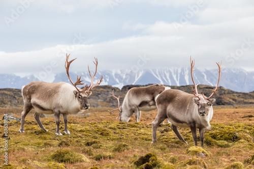 Door stickers Pole Herd of wild reindeer in Arctic tundra