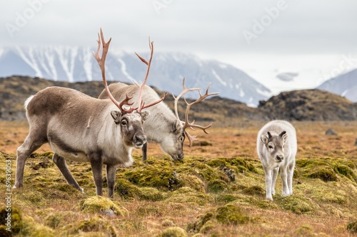 Cadres-photo bureau Arctique WIld reindeer family