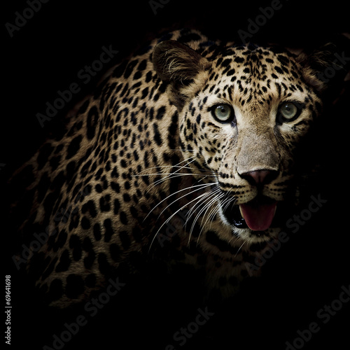 Photo sur Aluminium Leopard Close up portrait of leopard with intense eyes