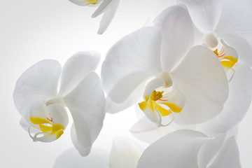 FototapetaDetail of orchid flowers.