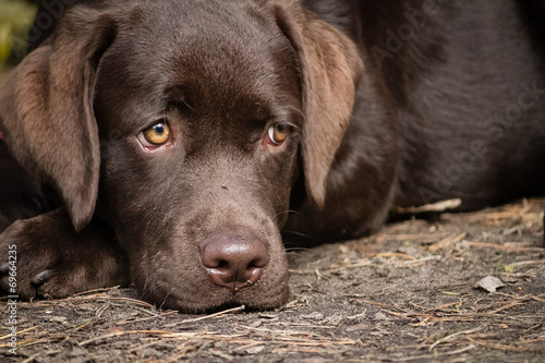 Photo Cute lonely brown labrador puppy