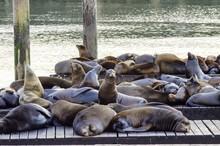 Sea Lions, Pier 39, San Franci...