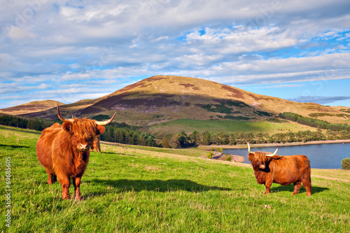 Highland angus cow Wallpaper Mural